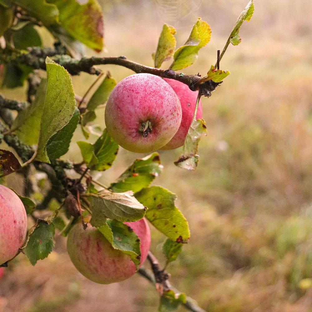 Apple tree in Somerset Cider Distillery